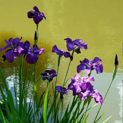 Givhandys 4 in. Potted Iris Ensata Bog/Marginal Aquatic Pond Plant