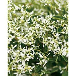 Diamond Frost (Euphorbia) Live Plant, White Flowers, 4.25 in. Grande