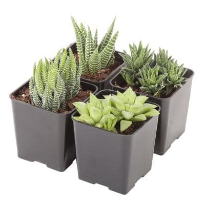 Small Succulents Haworthia Assorted in 2.5 in. Grower Pot (4 pack)