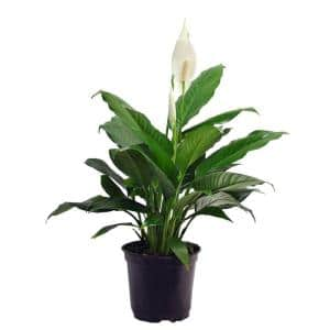 Spathiphyllum in 6 in. Grower Pot