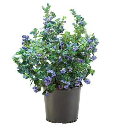 2.5 Qt. Rebel (Southern Highbush) Blueberry Plant with White Flowers and Green Foliage