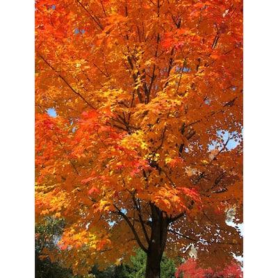 Sugar Maple Tree Bare Root