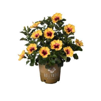 2 Gal. Hollywood Rico Suave Yellow and Red Flower Annual Hibiscus Plant