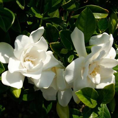 3 Gal. Jubilation Gardenia, Live Evergreen Shrub, White Fragrant Blooms