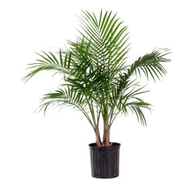 Majesty Palm Plant in 9.25 in. Grower Pot