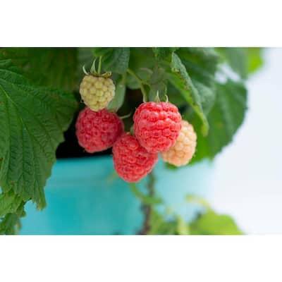 2.5 qt. Bushel and Berry Shortcakes Raspberry Plant