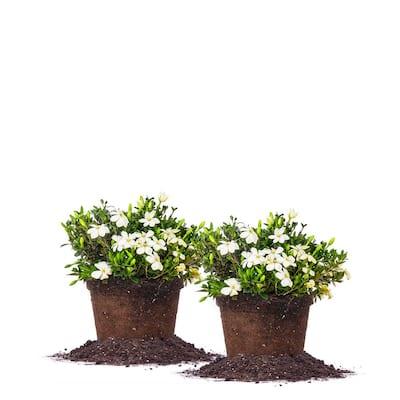 #1 Kleims Hardy Gardenia Shrub (2-Pack)