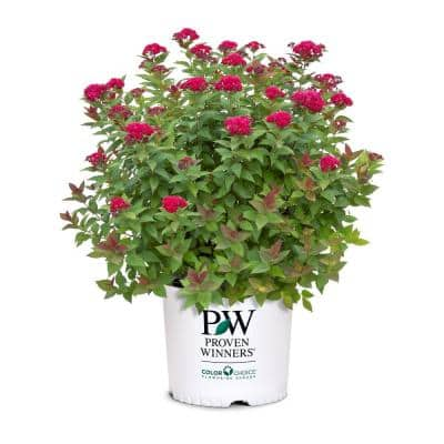 2 Gal. Double Play Doozie Spirea with Red to Purple Flowers