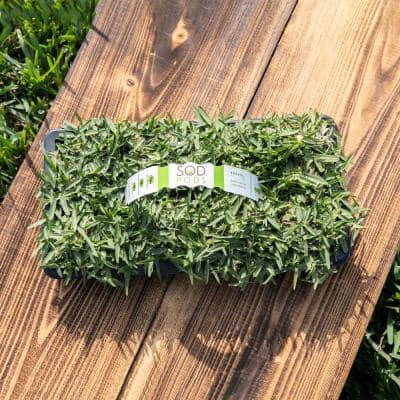 St Augustine CitraBlue Grass Sod Plugs Natural, Affordable Lawn Improvement (32-Count Trays)
