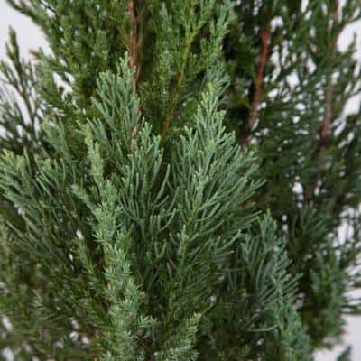 2.5 Qt. Blue Point Juniper - Live Evergreen Shrub/Tree