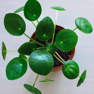 4 In. Chinese Money Plant Pilea Plant in Grower Pot - 4 Piece