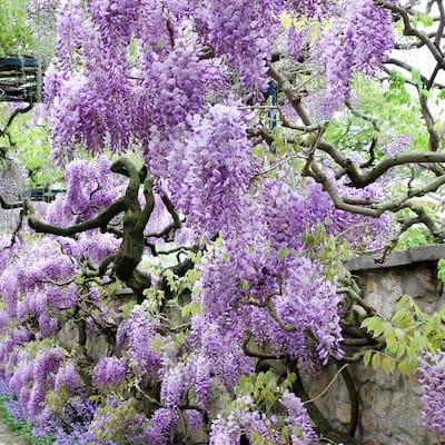 Wisteria Purple Root Stock (1-set)