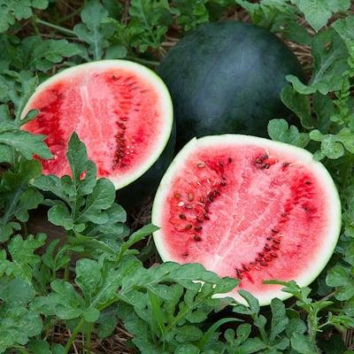 19.3 oz. Sugar Baby Watermelon Plant