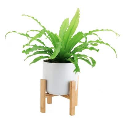 Bird's Nest Fern Plant in 6 in. Mid Century White Ceramic and Stand