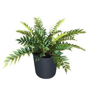 2.5 Qt. Japanese Fern in 6.33 In. Grower's Pot (2-Plants)