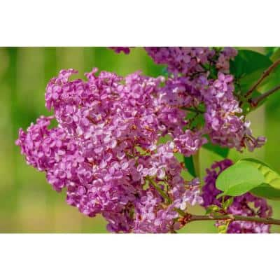 18 in. - 36 in. Tall Bare-Root Royal Purple Lilac Shrub