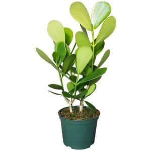 Autograph Plant in 6 in. Grower Pot