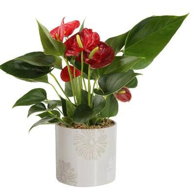 Blooming Anthurium Plant in 4 in. Premium Ceramic Pot