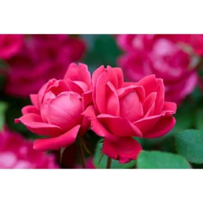 3 Gal. Red The Double Knock Out Rose Bush with Red Flowers (2-Plants)