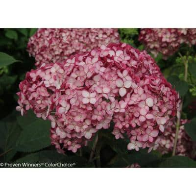 1 Gal. Invincibelle Ruby Smooth Hydrangea, Live Shrub, Red and Pink Flowers