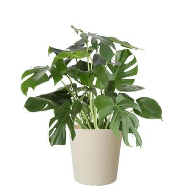 10 in. Monstera in Paradise Planter