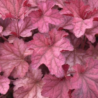 2. 5 Qt. Indian Summer Cranberry Orange Coral Bells Plant