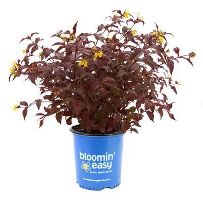 2 Gal. Nightglow Honeysuckle (Diervilla) Live Shrub, Vibrant Yellow Flowers