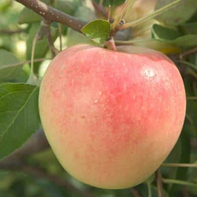 Sundance Reachables Apple Malus Live Fruiting Bareroot Deluxe Tree Kit (1-Pack)