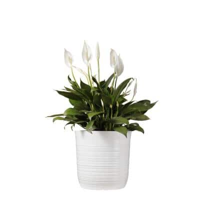 Spathiphyllum Rocky Peace Lily Plant 24. in to 34 in. Tall in 10 in. White Decor Pot
