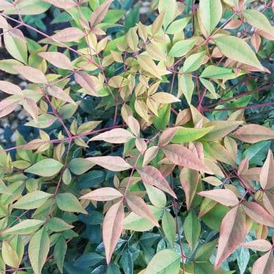 9.25 in. Pot - Gulfstream Nandina(Heavenly Bamboo), Live Evergreen Shrub, Year-round Foliage Interest