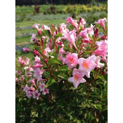1 Gal. Sonic Bloom Pure Pink (Weigela) Live Shrub with Pink Flowers