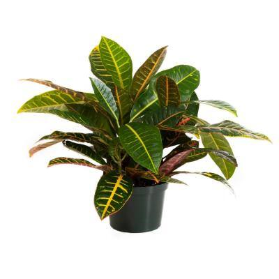 Croton Petra in 6 in. Grower Pot