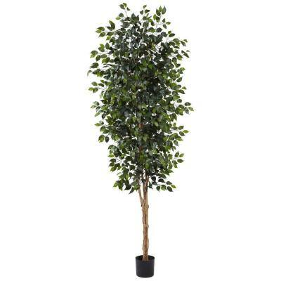 8 ft. Ficus Tree