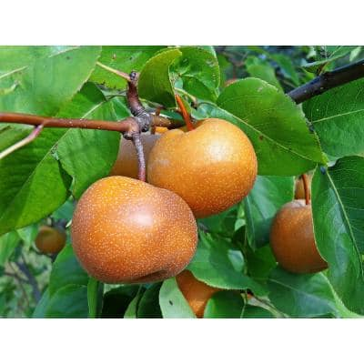 Dwarf Chojuro Asian Pear Tree Bare Root