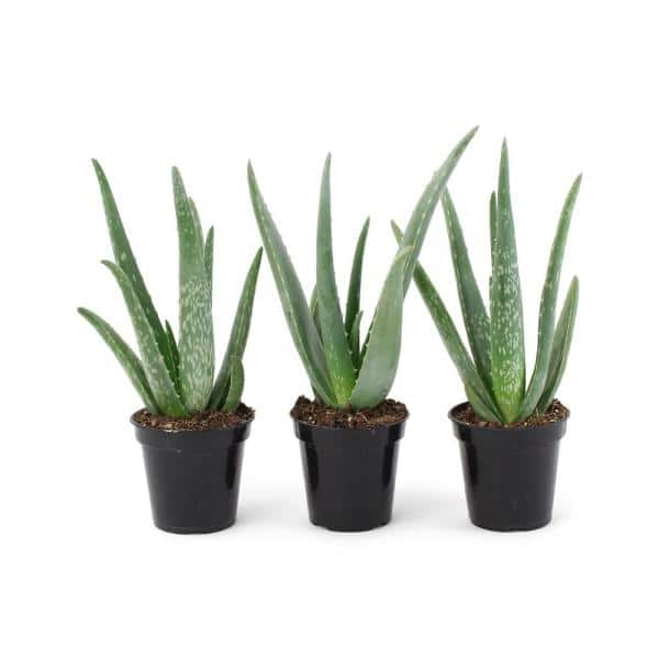 Pure Beauty Farms 11 Oz Succulent Aloe Vera Plant In 3 5 In Grower S Pot 3 Plants Dc3succaloever3 The Home Depot
