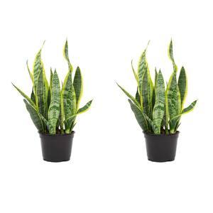 1.5 Qt. Sansevieria Laurentii Snake Plant in 6 in. Grower's Pot (2-Pack)