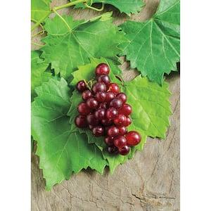 4 in. Pot, RazzMatazz Muscadine Grape (Vitis), Live Deciduous Plant, Seedless Grape Vine (1-Pack)