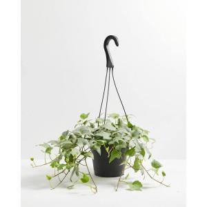 6 in. English Ivy Glacier (Hedera helix Variegata) Plant in Grower Pot