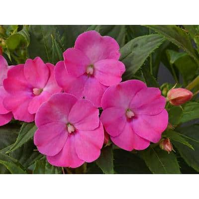 1.97 Gal. SunPatiens Purple Impatien Outdoor Annual Plant with Lilac Flowers in 2.75 In. Cell Grower's Tray (18-Plants)