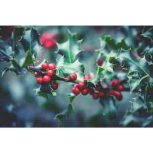 1 Gal. Red Beauty Holly Shrub Symmetrical Grower with Rich Glossy Leaves and Abundant Bright Red Berries