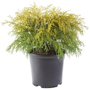 2.5 Qt. Gold Mop False Cypress Shrub with Golden Foliage