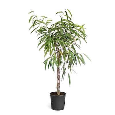 Ficus Alii Braided Plant in 3 Gal. pot