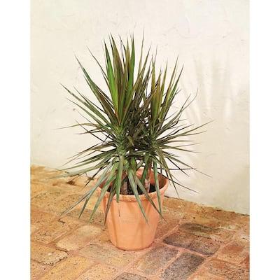 Marginata Bush in 8.75 in. Grower Pot