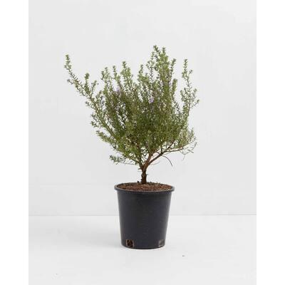 1 Gal. Westringia - Coastal Rosemary Plant (Westringia Fruticosa) Plant in Grower Pot