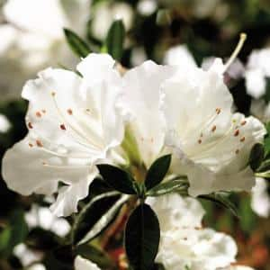 2 Gal. Autumn Angel Shrub with Clear White Reblooming Flowers