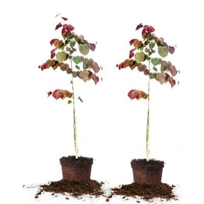 #5 Forest Pansy Redbud (2-Pack)
