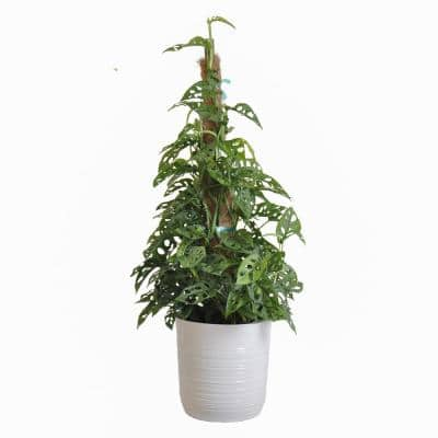 Adansonii Totem Live Swiss Cheese Plant 34 - 36 in 10 in. White Decor Pot