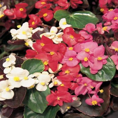 4.5 in. Mixed Begonia Plant
