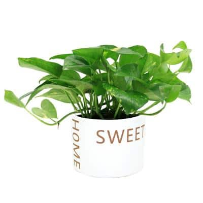 6 in. Pothos Plant in Home Sweet Home White Ceramic