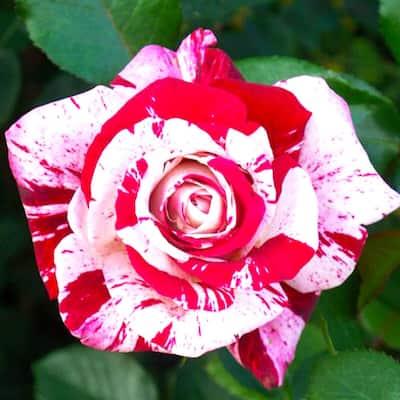 Patented Fragrant Burgundy and White Floribunda Rose Scentimental